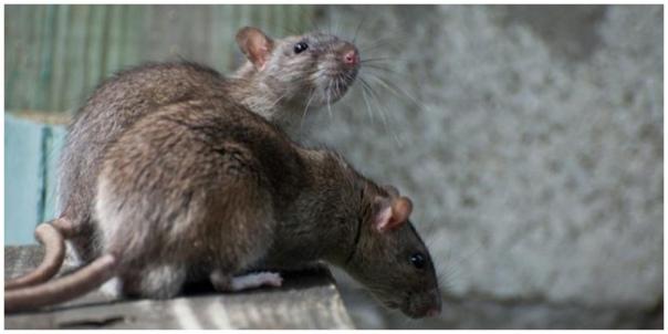 Cara Agara Dapur Aman Dari Serangan Tikus